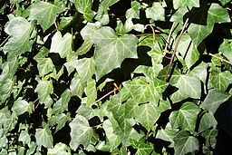 future-outdoors-english-ivy