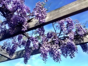 future-outdoors-japanese-wisteria